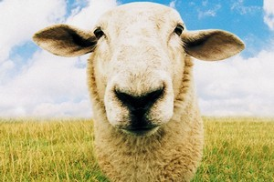 Not kidding ewe! Sheep are stars amongst domestic animals for their vast genetic diversity. Photo / Thinkstock