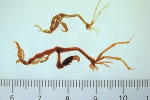 Skeleton shrimps. An 'alien invader' boaties are being warned to look out for. Photo / NIWA