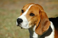 Benny the beagle is great with children. Photo / Thinkstock