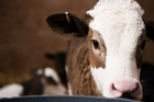 A farm worker was sentenced in court today after beating a calf so badly it died. Photo / Thinkstock