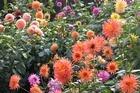 Dahlias in the Christchurch Botanic Gardens. Photo / APN