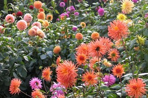 Dahlias in the Christchurch Botanic Gardens. Photo / APN