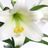 Oriental Lily. Photo / Supplied