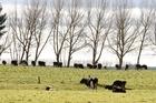 Crafar farm cattle. File photo / Christine Cornege