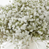 Gypsophila. Photo / Supplied