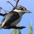 Kotare (kingfisher) on Tiritiri Matangi. Photo / Jim Eagles