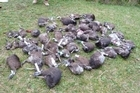 About 60 kiwis killed by dogs and vehicles around Northland. Photo / Rolf Mueller-Glodde.