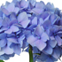 Hydrangea. Photo / Supplied