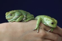 The fringe-limbed tree frog is thought to be extinct in the wild. Photo / Getty Images