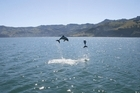 Hectors dolphins in Akaroa harbour. Photo / supplied