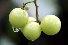 An oversupply of summer rain portends a shortage of grapes for winemakers, so prices will very likely rise. Photo / Thinkstock