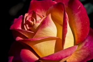 The hybrid tea rose marries fragrance with lavishly bicoloured petals. Photo / Thinkstock