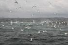 The gannets pierce the water like hunting arrows. Photo / Geoff Thomas
