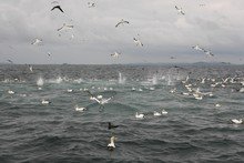 The gannets pierce the water like hunting arrows.