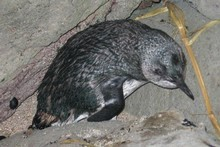 It's thought the little blue penguins have been killed by dogs. If found the dogs could be destroyed. Photo / Supplied