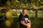 Te Puke kiwifruit grower Robbie Ellison with a pair of shears and a blowtorch in one of his Psa affected orchards. The impact of PSa has been one of the contributors to an $18.9m annual loss for Turners and Growers. File photo / Alan Gibson
