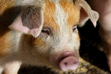 Pig manure in Hamilton has been developed as an alternative energy source. Photo / Christine Cornege