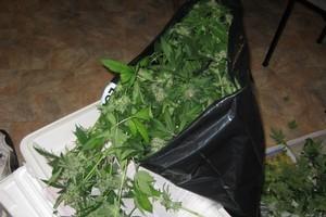 Cannabis found at the Hamilton house. Photo / NZ Police