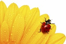 Ladybird larvae will eat aphids and are great garden helpers. Photo / Thinkstock