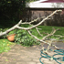 Strong winds tore down this Torbay peach tree. Photo / Kylan Kukard