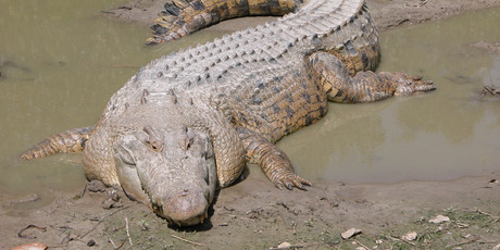 215 saltwater crocodiles were trapped in Darwin Harbour alone, the largest a 4.8m male.