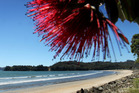 The sweep of Buffalo Beach is framed by an iconic pohutukawa tree at the edge of the settlement of Whitianga on the Coromandel Peninsula.  Photo / Alan Gibson