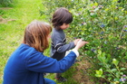 You can learn how to pick your own fruit at Monavale Blueberries in Cambridge. Photo / Supplied