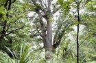 A mature Kauri tree looms large through the Waitakere Ranges canopy. Photo / David White