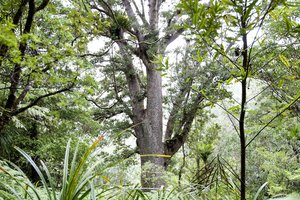 A mature Kauri tree looms large through the Waitakere Ranges canopy. Photo / David White