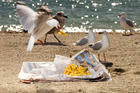 Seagulls pounce on discarded food and spread the mess further. Photo / Babiche Martens