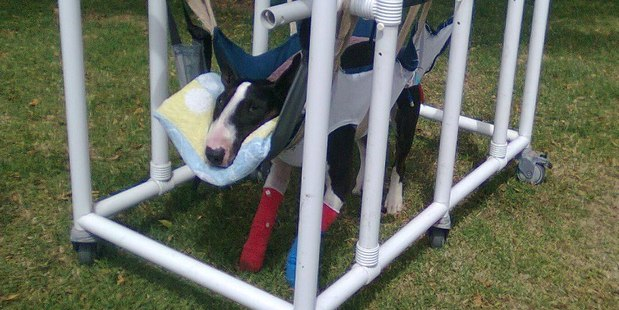 Booker, a British bull terrier, broke his neck when a great dane attacked him on Mt Victoria at Devonport in Auckland. Photo / Facebook/Supplied