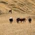 Cattle in a burnt-off paddock on State Highway 5, just north of Taupo. Lake Taupo and the surrounding area are being hit by drought conditions at the moment. Photo / NZ Herald