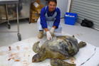 Dan Godoy with a turtle harmed by eating plastics. Marine turtles can't differentiate between natural prey and plastic. Photo / NZ Herald