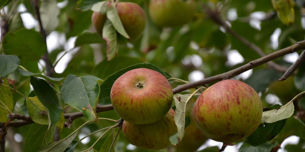 Apples growing on a tree. Photo / Meg Liptrot