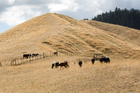 Cattle forage for feed in a drought-stricken paddock on State Highway 5, just north of Taupo. Photo / Sarah Ivey