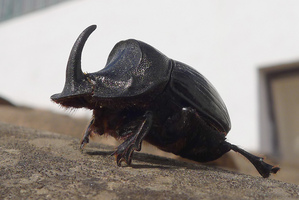 The rhinoceros dung beetle, one of the 11 species coming to NZ. Photo / Gail Hampshire