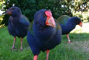 The rare takahe love to stand in the middle of the road.  Photo / Kellie Blizzard