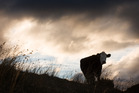 You cannot redesign a cow as readily as you can redesign a car. Photo / Greg Bowker