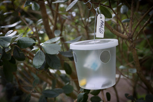 A fruit fly trap in Auckland. Photo / Natalie Slade