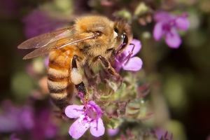 Turns out that bees, too, get a buzz off caffeine.Photo / File