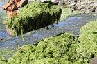 Sea lettuce. Photo / APN