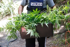 Some of the 35,315 cannabis plants pulled up or sprayed by police during Operation Ruth over the past two months. Photo / Michael Cunningham