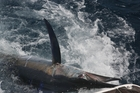 Hundreds of marlin were caught and released during the week-long Nationals. Photo / Supplied
