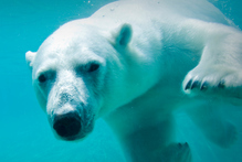 A US proposal to ban the international trade of polar bears failed to garner the two-thirds of votes needed to pass. Photo / Thinkstock 