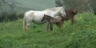 Abandoned status symbols, horses perish in Spain 