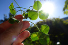 Although the four-leafed clover is considered lucky, any clover cultivar will be good for your garden. Photo / Meg Liptrot