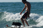 Zorro the surfing pig enjoys a late afternoon wave with his owner Matthew Bell at Mt Maunganui. Photo / Alan Gibson