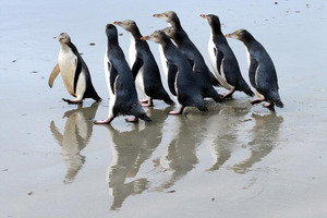 A group of rescued yellow-eyed penguins turn tail back up at an Otago Peninsula beach after being released earlier in March. Photo / Craig Baxter