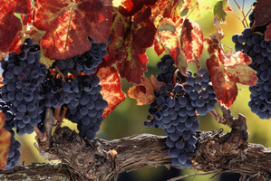 The dry weather is helping Gisborne's grape growers.Photo / Thinkstock