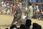 Dancing Marwari horse. Photo / Supplied